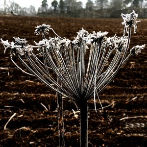 Picture of frosted plant at Bennybeg near Crieff